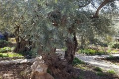 Garden-of-Gethsemane-tree-there-when-Jesus-prayed-there